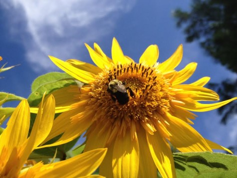 This photograph that I took in my garden is one of my favorites because I love how the colors within it complement each other. The blue sky in the background contrasts with the bright yellow bumble bee and sunflower, causing them to pop out.
