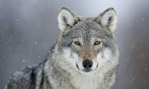My Wolf: A Proxy for Fear